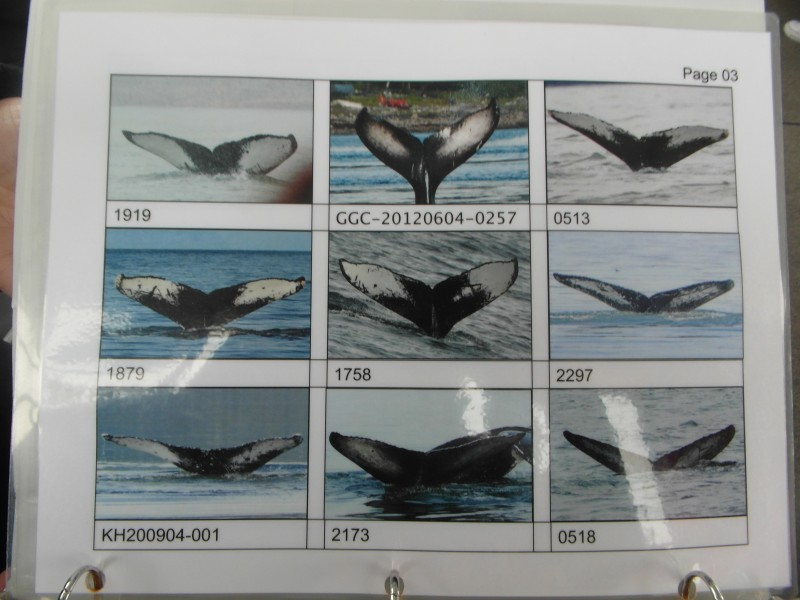 University of Alaska Fairbanks codification of Humpback Whale Flukes! - Juneau Alaska