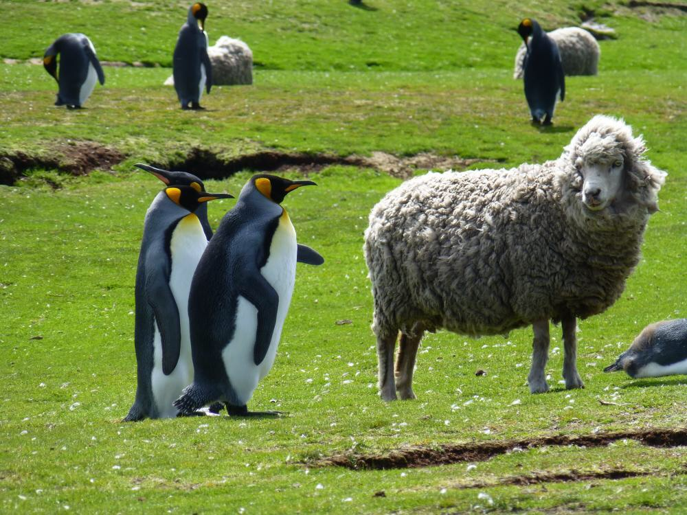 Falkland Islands Home To Lots Of Sheep And Penguins
