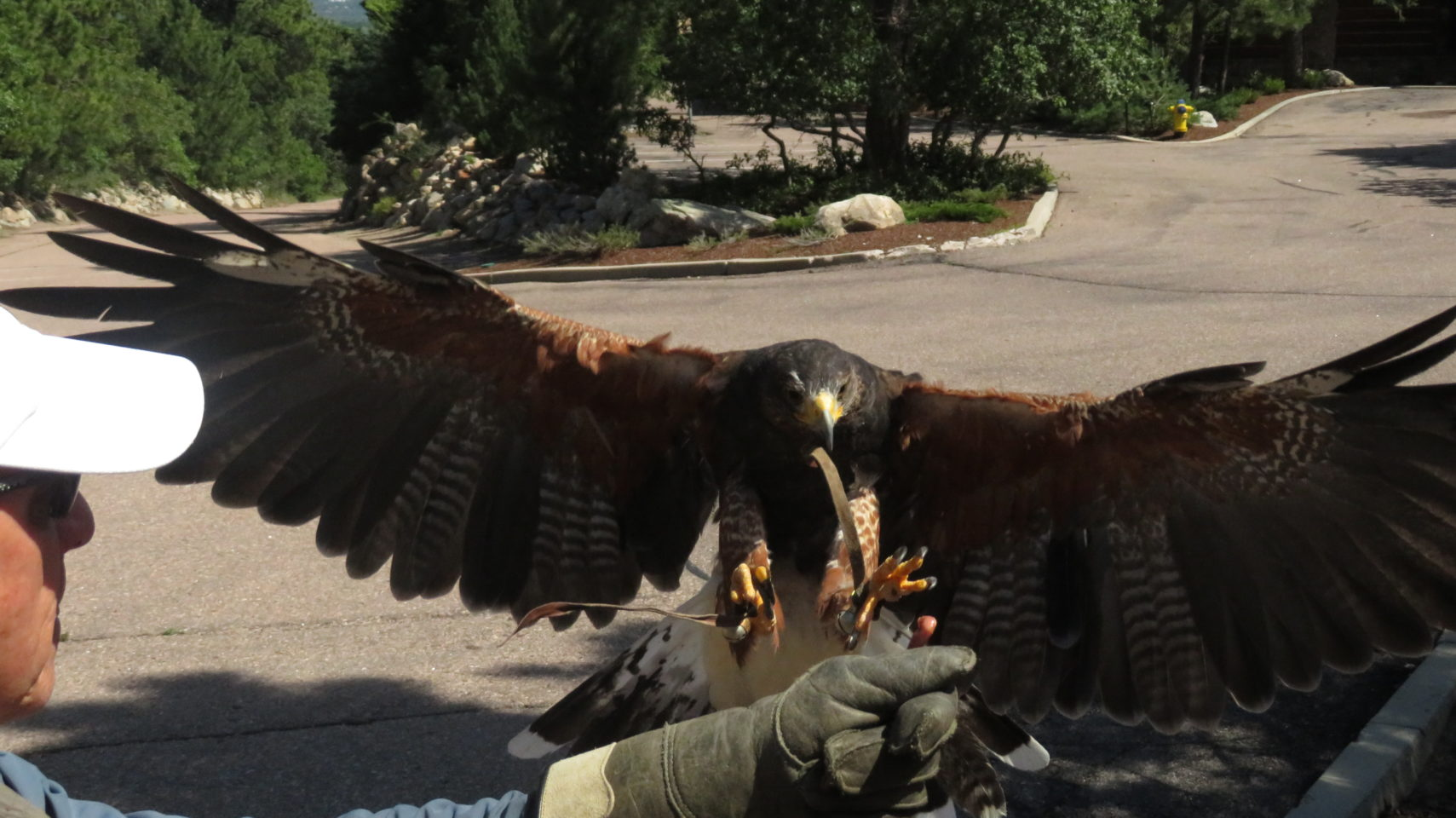 Julie, the harris hawk, in her final landing approach onto the welcoming hand of master falconer Dan