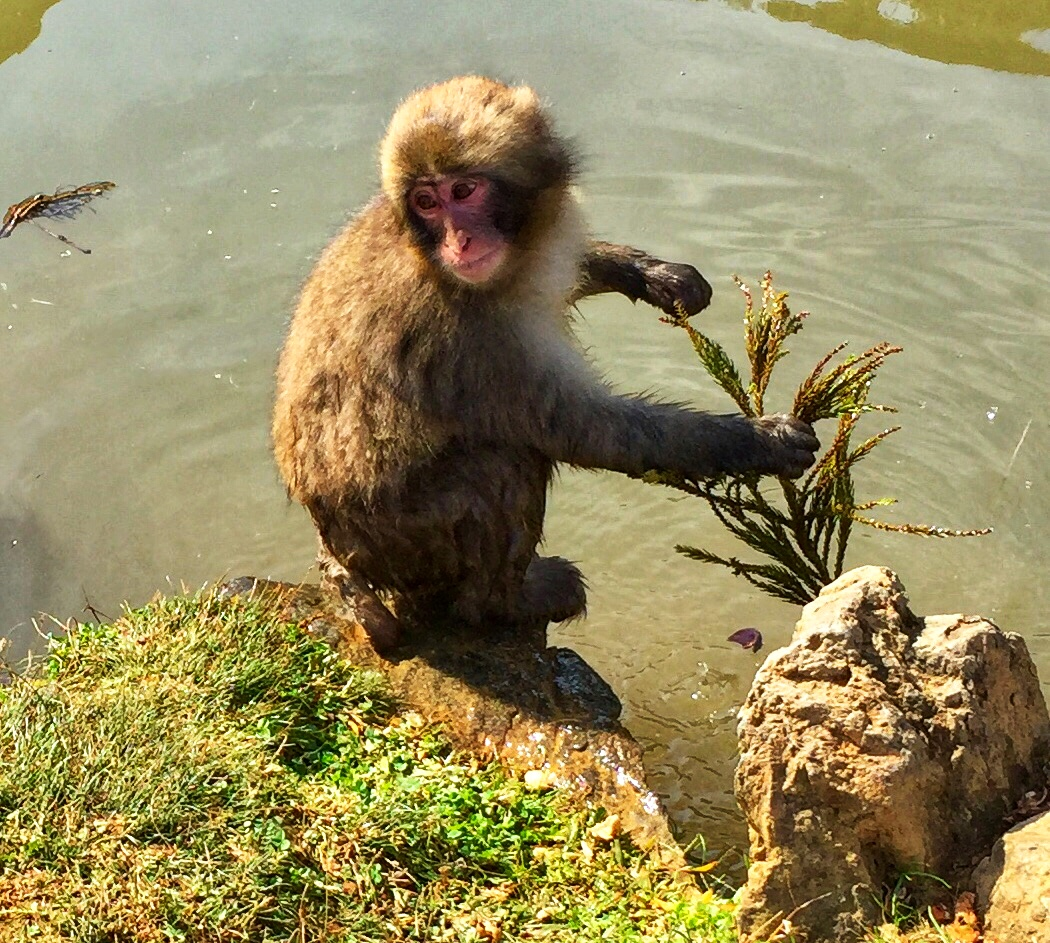 Japan Favorite Experiences ~ Getting close to the monkeys at Iwatayama Monkey Park in Arashiyama near Kyoto in Japan